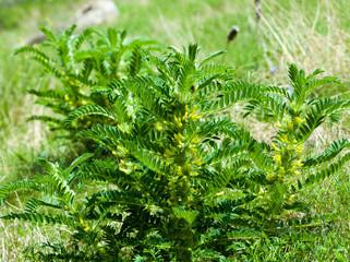 Astragalus. milkvetch. goat's-thorn. vine-like. astragalus sieve