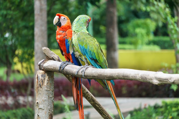 beautiful parrots from Nicaragua.