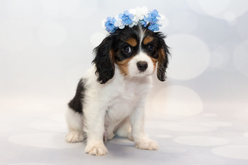 Cavalier King Charles with a flower crown