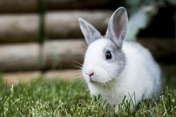 Bébé lapin gris et blanc