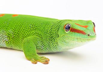 neck lizard