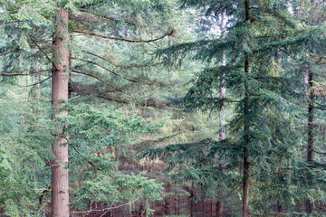Forest of Dutch national park Veluwe with background of fir trees