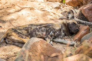 Resting African wild dog.