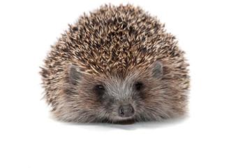 Hedgehog close up on a white background