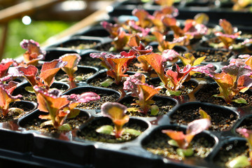red lettuce in seeding tray closeup