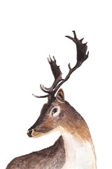 Deer portrait hand drawn watercolor illustration