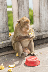 Monkey sitting on the cement wall and eating fruits