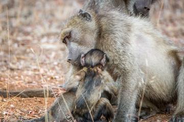 Bonding Chacma baboons.