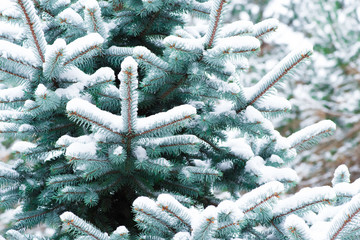 Winter. Snow. Christmas background. The branches of spruce.