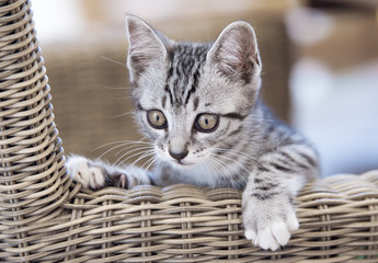 Portrait of grey tabby cat (4 months old) on a wicker chair.