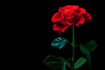 Beautiful red rose on black background, floral wallpaper