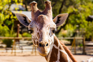 Giraffe Head Front