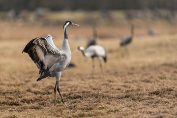 Common crane in a wetland at a stopover site