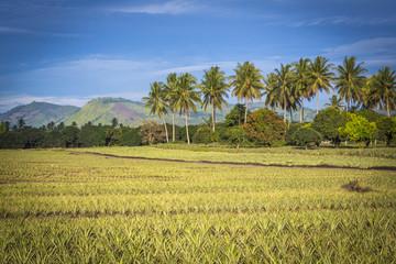 traumhafte Farbenstimmung über eine Ananasplantage auf den Philippinen