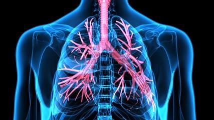 3Dillustration Human Respiratory System