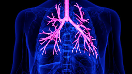 3D Illustration  Respiratory System