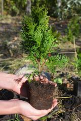 Planting Thuja Occidentalis Smaragd for Ganden Landscape Design