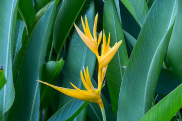 young canna flower close up