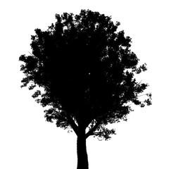 Baum Esche Silhouette freigestellt auf weiß