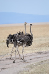 Two ostrich standing in the African savannah
