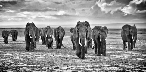 Family of elephants walking group on the African savannah at photographer