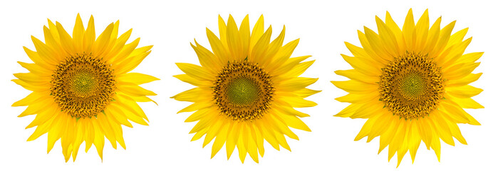 Set of Sunflowers isolated on the white background