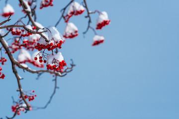 雪を被ったナナカマドの赤い実