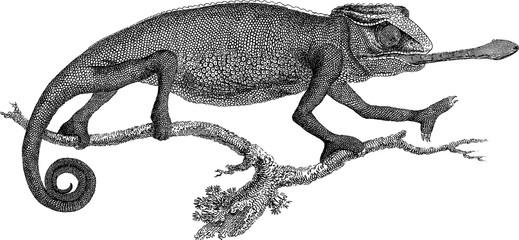 Vintage picture chameleon