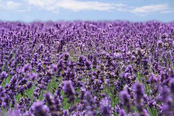 ein weites Lavendelfeld