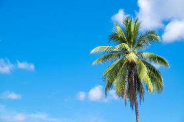 Coconut tree with clear sky