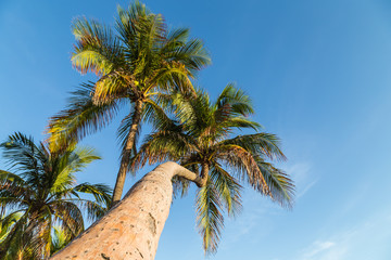 Palm tree low angle view/ palm trees against blue sky at tropical beach