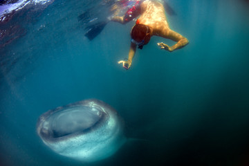 Whale Shark while coming to a snorkelist
