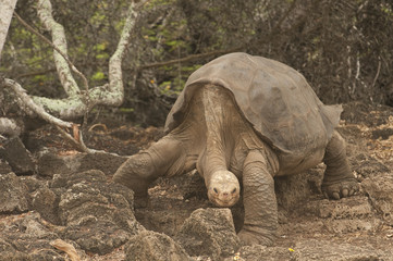Lonesome George, Extinct Galapagos Tortoise Wall mural