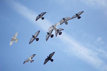 Pigeons soaring in the blue sky