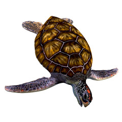 Green Sea Turtle on White - The Green Sea Turtle is found in tropical and subtropical seas around the world and have an omnivorous diet.