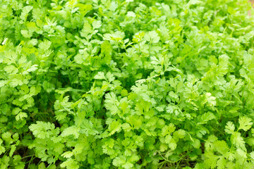 Coriander growing on plantation