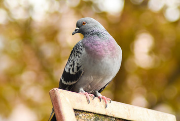 Pigeon standing on a wood, isolated.