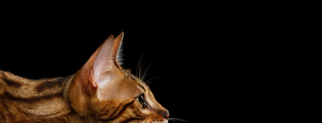 Close-up Portrait of Adorable breed Bengal kitten in profile view, dropped, isolated on Black Background