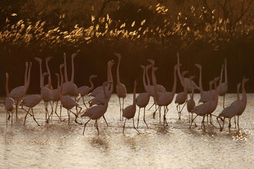 Greater flamingoes flock in  warm light, Camargue, France