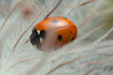 Macro photo of seven-spot ladybug on overblown plant