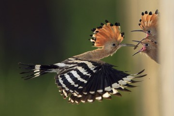 Hoopoe feeding their chicks in flight, Pisa, Tuscany Italy