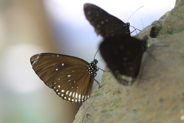 brown color with white spot butterfly on rock