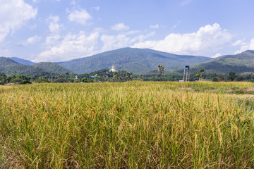 golden rice field with Thai temple on the mountain