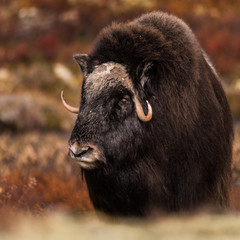 Musk ox Dovre Norway