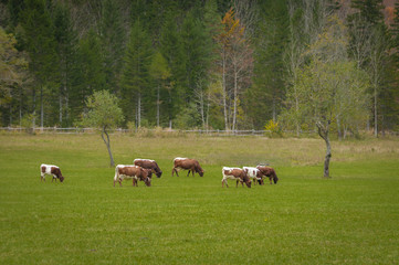 Cattle on pasture in autumn colors; Logarska dolina, Slovenia, European Alps