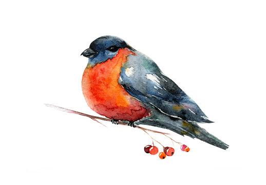Watercolor with red winter bird bullfinch. Robin.