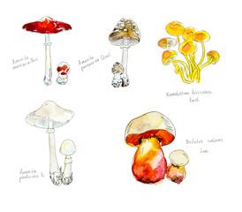 Toadstools. Inedible mushrooms. Watercolor hand drawn illustration.