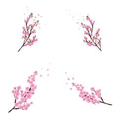 Sakura flowers background. cherry blossom isolated white backgro