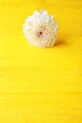 Beautiful dahlia flower on yellow wooden background