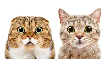 Portrait of cats Scottish Fold and Scottish Straight, closeup